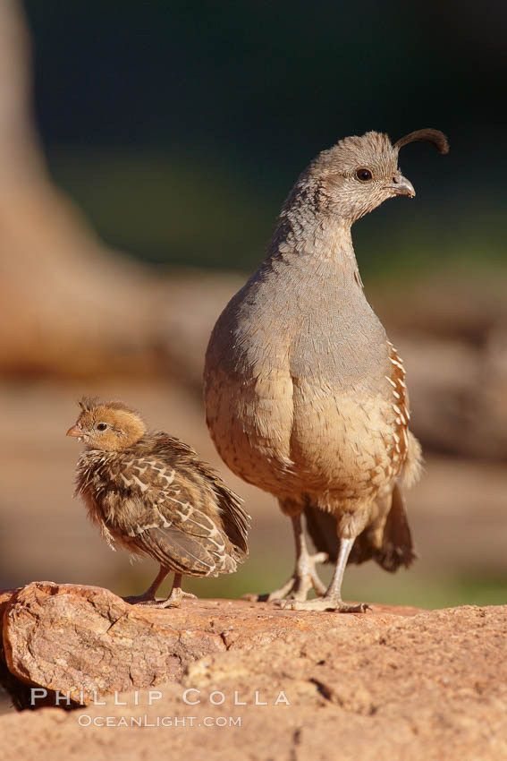 Gambel's quail, chicks and female. Amado, Arizona, USA, Callipepla gambelii, natural history stock photograph, photo id 22908