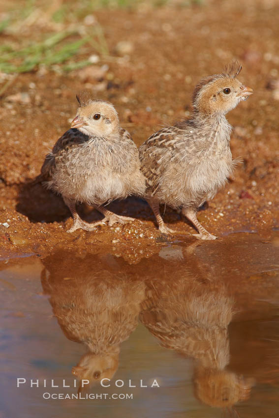 Gambel's quail, chicks. Amado, Arizona, USA, Callipepla gambelii, natural history stock photograph, photo id 23008