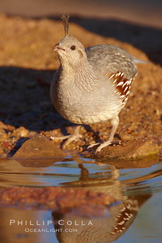 Gambel's quail, female. Amado, Arizona, USA, Callipepla gambelii, natural history stock photograph, photo id 23056