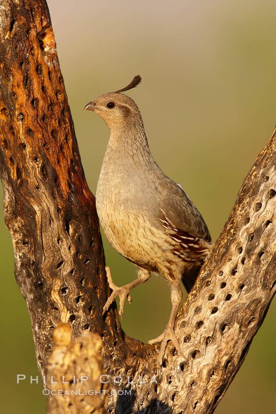 Gambel's quail, female. Amado, Arizona, USA, Callipepla gambelii, natural history stock photograph, photo id 22917