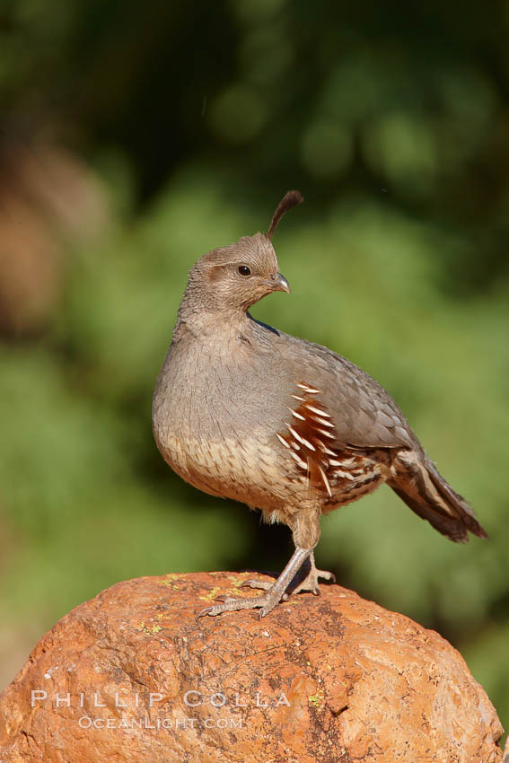 Gambel's quail, female. Amado, Arizona, USA, Callipepla gambelii, natural history stock photograph, photo id 23041