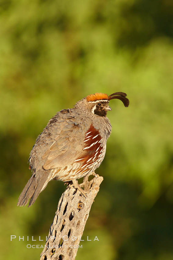 Gambel's quail, male. Amado, Arizona, USA, Callipepla gambelii, natural history stock photograph, photo id 23053