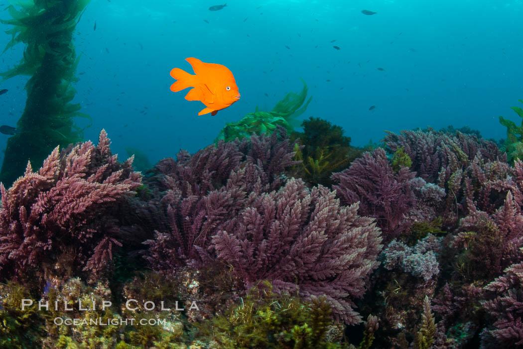 Image 30940, Garibaldi swims over Asparagopsis taxiformis, red marine algae, underwater on reef below kelp forest at San Clemente Island. San Clemente Island, California, USA, Hypsypops rubicundus, Asparagopsis taxiformis, Phillip Colla, all rights reserved worldwide. Keywords: algae, asparagopsis taxiformis, california, channel islands, damselfish, fish, garibaldi, hypsypops rubicundus, island, marine algae, pacific ocean, san clemente island, usa.