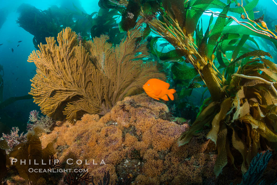 Garibaldi and golden gorgonian, with a underwater forest of giant kelp rising in the background, underwater. Catalina Island, California, USA, natural history stock photograph, photo id 34169