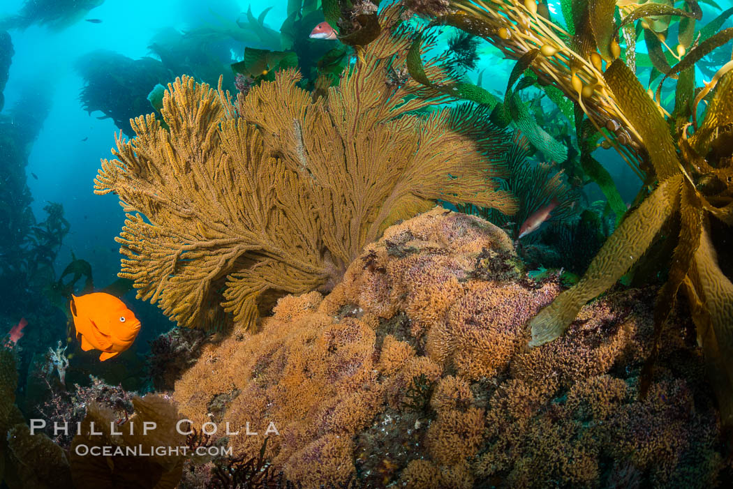 Garibaldi and golden gorgonian, with a underwater forest of giant kelp rising in the background, underwater. Catalina Island, California, USA, natural history stock photograph, photo id 34185