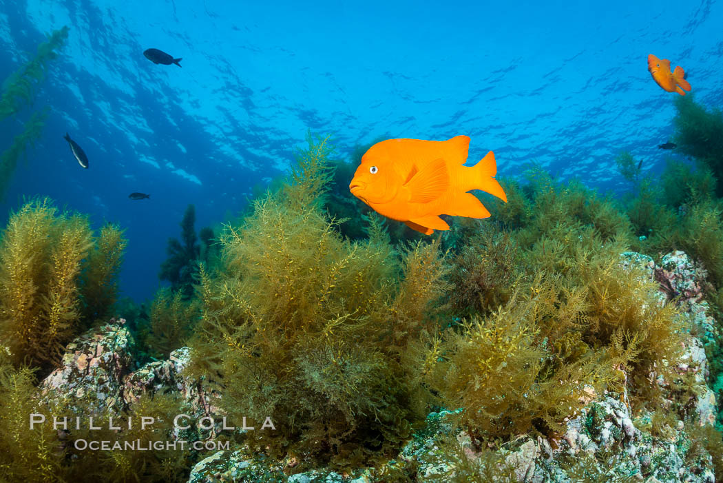 Garibaldi and invasive Sargassum. Catalina Island, California, USA, natural history stock photograph, photo id 34220