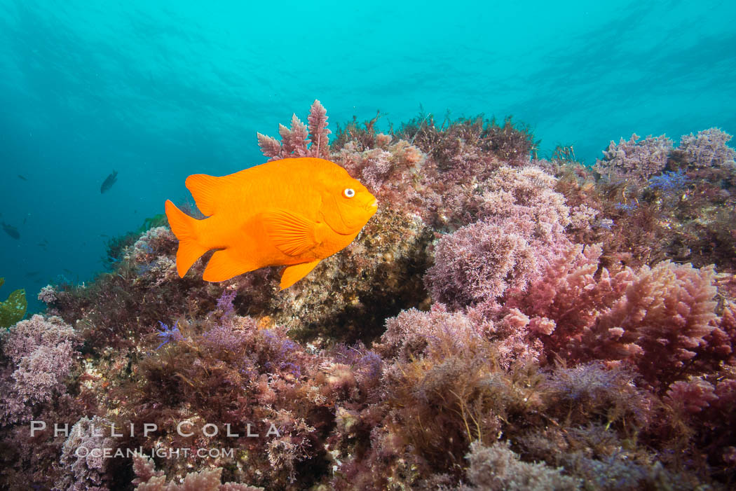 Garibaldi and various marine algae, San Clemente Island. San Clemente Island, California, USA, Hypsypops rubicundus, natural history stock photograph, photo id 30954