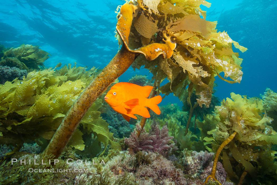Garibaldi swimming through southern sea palm, San Clemente Island. San Clemente Island, California, USA, Hypsypops rubicundus, Eisenia arborea, natural history stock photograph, photo id 30877