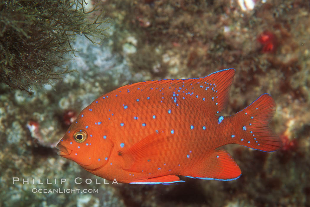 Juvenile garibaldi, vibrant spots distinguish it from pure orange adult form. San Clemente Island, California, USA, Hypsypops rubicundus, natural history stock photograph, photo id 01024