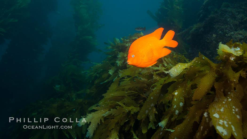 Garibaldi fish on kelp forest reef, underwater. San Clemente Island, California, USA, Hypsypops rubicundus, natural history stock photograph, photo id 25426