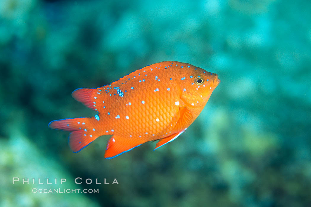 Image 07052, Juvenile Garibaldi, vibrant spots distinguish it from pure orange adult form. San Clemente Island, California, USA, Hypsypops rubicundus, Phillip Colla, all rights reserved worldwide. Keywords: adult - juvenile difference, algae, animal, california, california baja california, channel islands, color and pattern, damselfish, fish, fish anatomy, garibaldi, giant kelp, hypsypops rubicundus, indo-pacific, juvenile, kelp, marine, marine algae, marine fish, marine plant, nature, ocean, oceans, pacific, plant, san clemente island, sea, teleost fish, underwater, usa, wildlife.