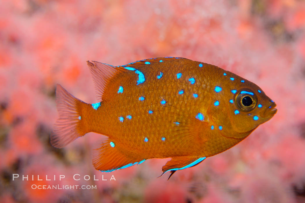 Juvenile garibaldi displaying distinctive blue spots. California, USA, Hypsypops rubicundus, natural history stock photograph, photo id 09388
