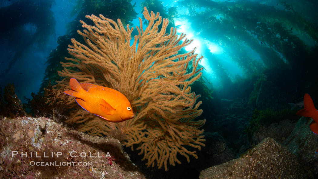 Garibaldi and golden gorgonian, with a underwater forest of giant kelp rising in the background, underwater. Catalina Island, California, USA, Muricea californica, Hypsypops rubicundus, natural history stock photograph, photo id 23432