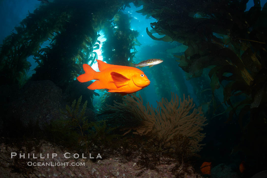 Garibaldi swims in the kelp forest, sunlight filters through towering giant kelp plants rising from the ocean bottom to the surface, underwater. Catalina Island, California, USA, Hypsypops rubicundus, natural history stock photograph, photo id 23572