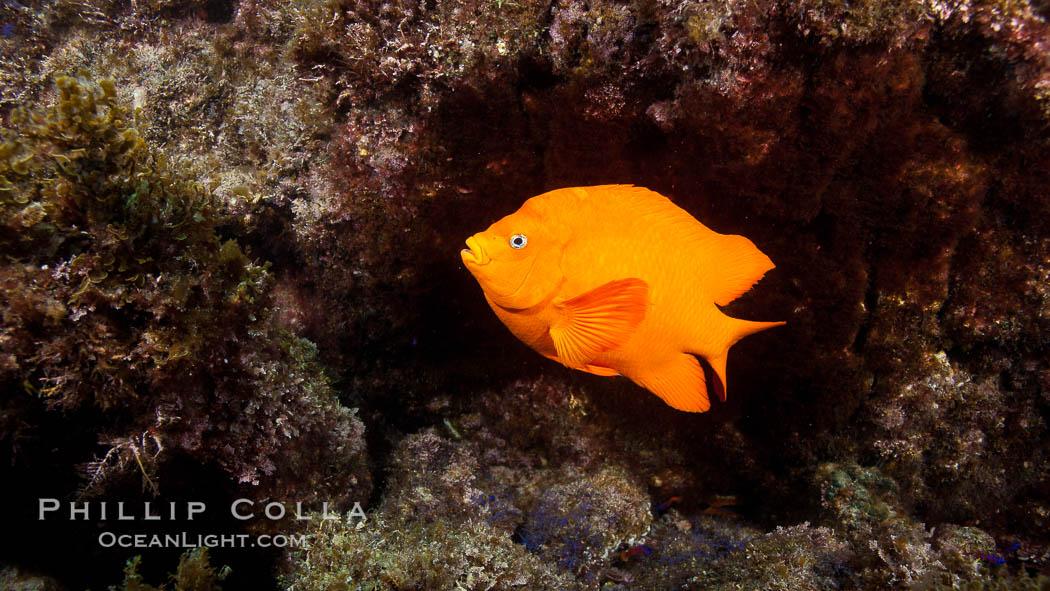 Garibaldi fish on kelp forest reef, underwater. San Clemente Island, California, USA, Hypsypops rubicundus, natural history stock photograph, photo id 25424