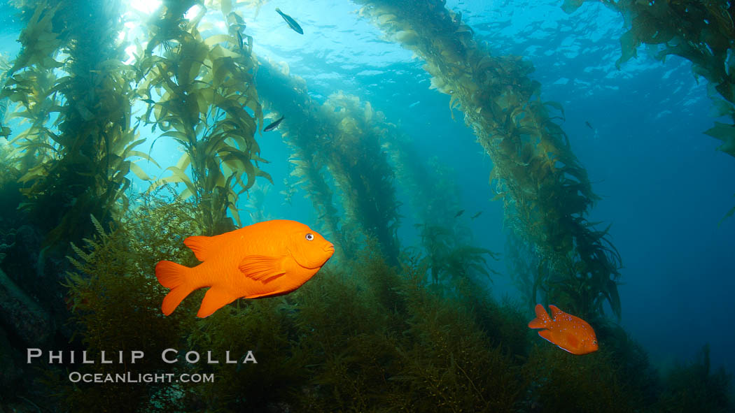 Garibaldi swims in the kelp forest, sunlight filters through towering giant kelp plants rising from the ocean bottom to the surface, underwater. Catalina Island, California, USA, Hypsypops rubicundus, natural history stock photograph, photo id 23457
