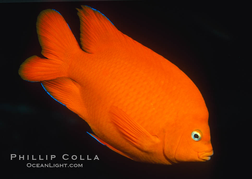Garibaldi with a tiny bit of juvenile blue coloration. California, USA, Hypsypops rubicundus, natural history stock photograph, photo id 02514