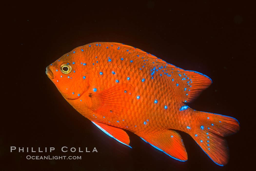 Juvenile Garibaldi, vibrant spots distinguish it from pure orange adult form, Coronado Islands. Coronado Islands (Islas Coronado), Coronado Islands, Baja California, Mexico, Hypsypops rubicundus, natural history stock photograph, photo id 02512