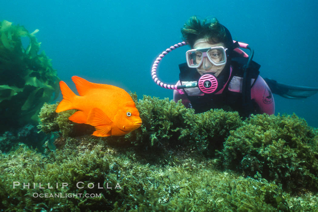 Diver and garibaldi. Catalina Island, California, USA, Hypsypops rubicundus, natural history stock photograph, photo id 02425