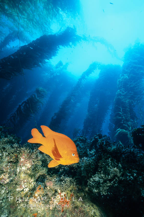 Garibaldi in kelp forest. San Clemente Island, California, USA, Hypsypops rubicundus, natural history stock photograph, photo id 03453