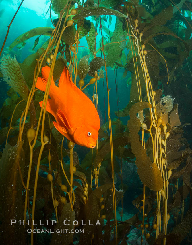 Garibaldi in kelp forest. Catalina Island, California, USA, natural history stock photograph, photo id 34174