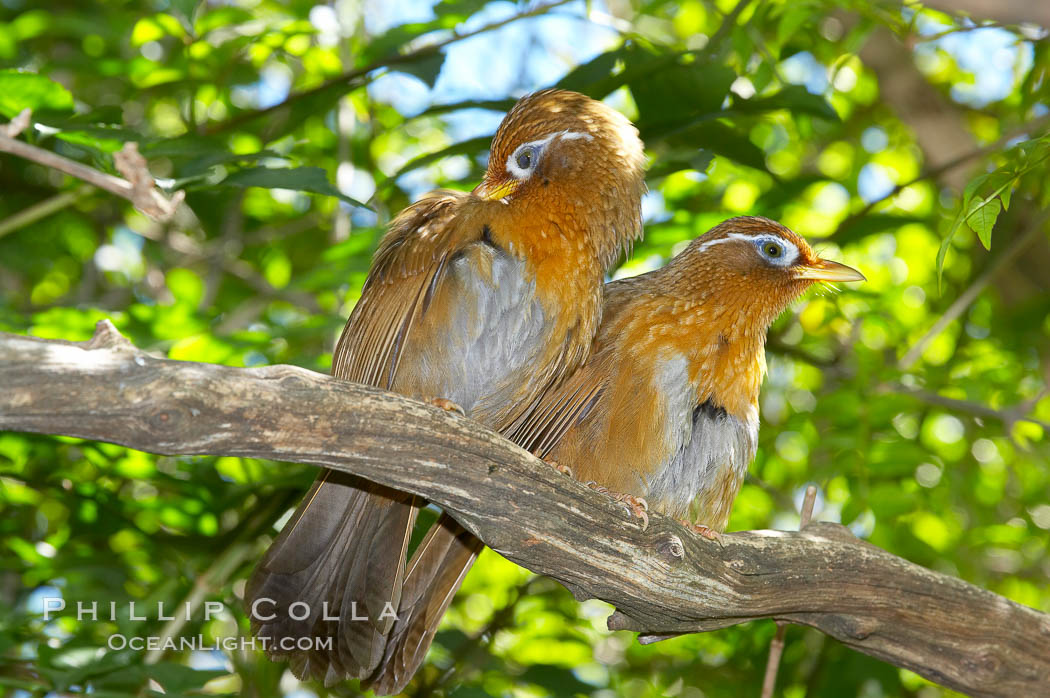 Hwamei, a bird native to China, Taiwan and Indochina., Garrulax canorus, natural history stock photograph, photo id 12760