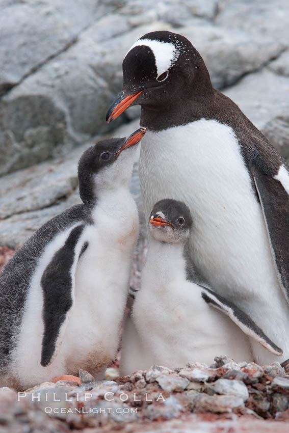 Gentoo penguin adult tending to its two chicks.  The chicks will remain in the nest for about 30 days after hatching. Peterman Island, Antarctic Peninsula, Antarctica, Pygoscelis papua, natural history stock photograph, photo id 25601
