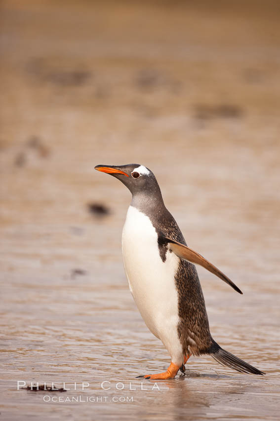 """Gentoo penguin coming ashore, after foraging at sea, walking through ocean water as it wades onto a sand beach.  Adult gentoo penguins grow to be 30"""" and 19lb in size.  They feed on fish and crustaceans.  Gentoo penguins reside in colonies well inland from the ocean, often formed of a circular collection of stones gathered by the penguins. New Island, Falkland Islands, United Kingdom, Pygoscelis papua, natural history stock photograph, photo id 23834"""