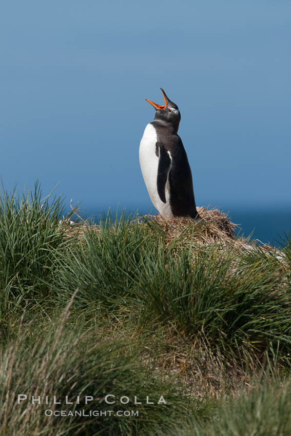 Gentoo penguin, vocalizing, atop of hill of tall tussock grass. Carcass Island, Falkland Islands, United Kingdom, Pygoscelis papua, natural history stock photograph, photo id 23983
