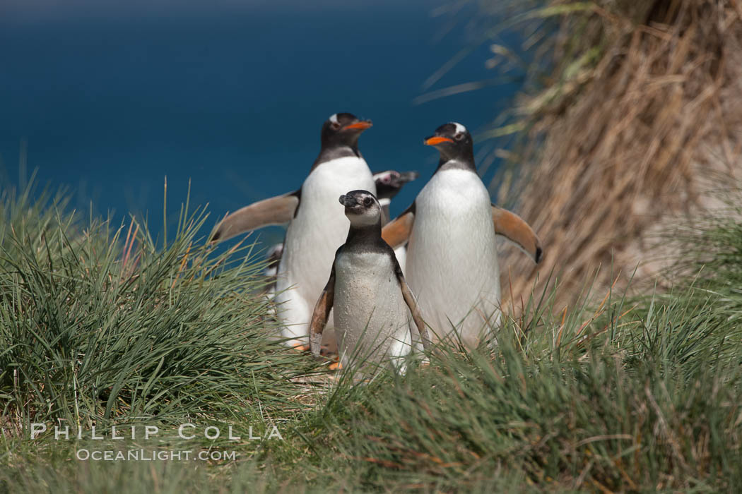 Mixed group of Magellanic and gentoo penguins, walk from the ocean through tall tussock grass to the interior of Carcass Island. Falkland Islands, United Kingdom, Pygoscelis papua, Spheniscus magellanicus, natural history stock photograph, photo id 23981