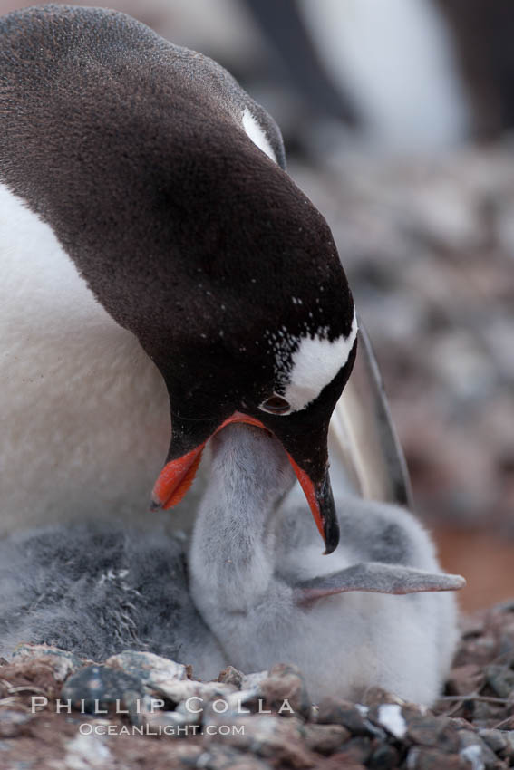Gentoo penguin feeding its chick, the regurgitated food likely consisting of crustaceans and krill. Cuverville Island, Antarctic Peninsula, Antarctica, Pygoscelis papua, natural history stock photograph, photo id 25550