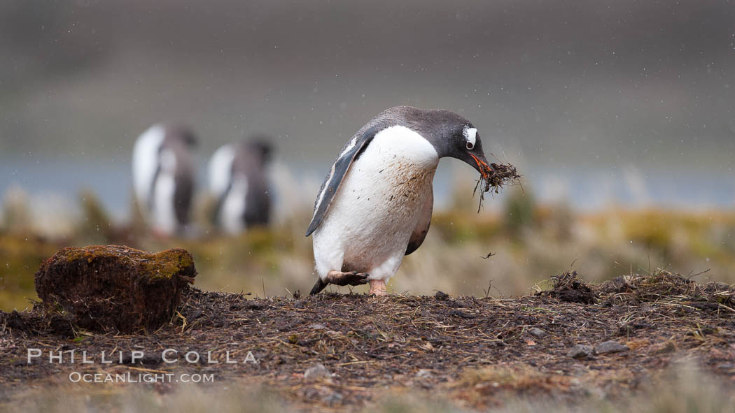 Gentoo penguin stealing nesting material, moving it from one nest to another. Godthul, South Georgia Island, Pygoscelis papua, natural history stock photograph, photo id 24753