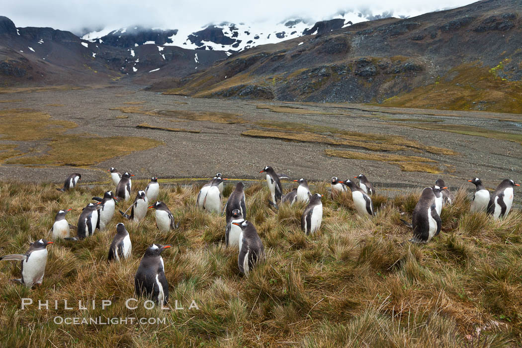 Gentoo penguins, permanent nesting colony in grassy hills about a mile inland from the ocean, near Stromness Bay, South Georgia Island. Stromness Harbour, Pygoscelis papua, natural history stock photograph, photo id 24586