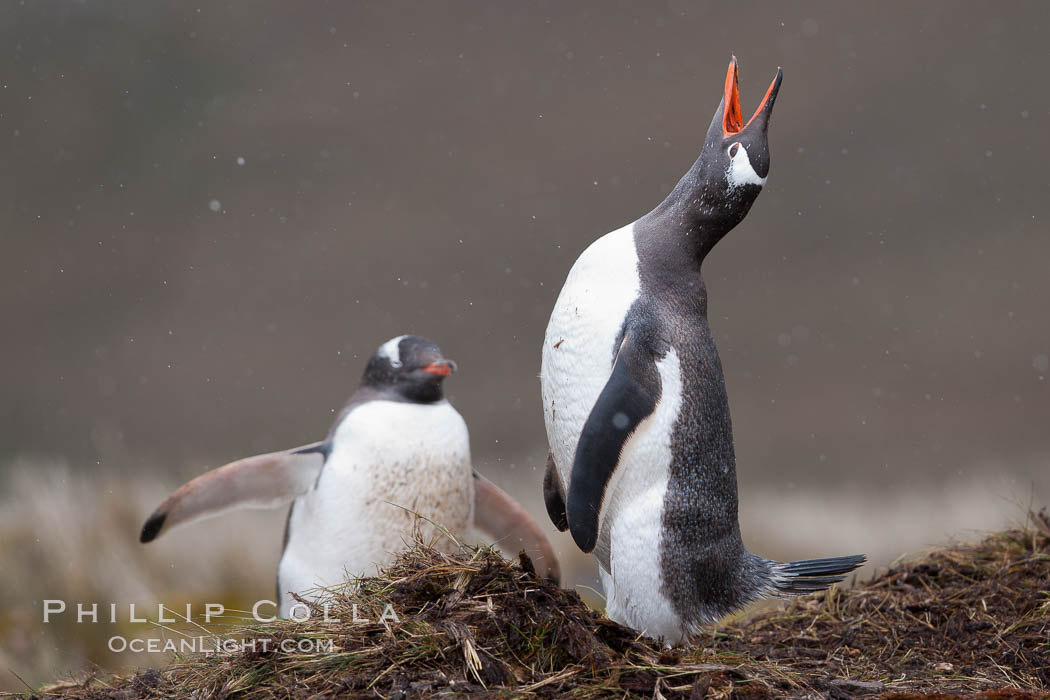 Gentoo penguin, calling, head raised, on the nest, snow falling. Godthul, South Georgia Island, Pygoscelis papua, natural history stock photograph, photo id 24702