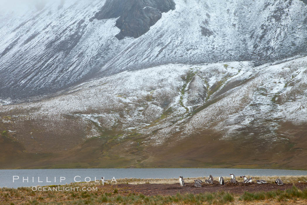 Gentoo penguins nesting beside a lake, snow-covered South Georgia mountains in the background. Godthul, South Georgia Island, Pygoscelis papua, natural history stock photograph, photo id 24691