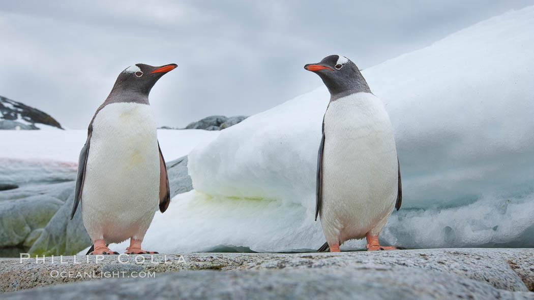 Gentoo penguins, Peterman Island, Antarctica. Peterman Island, Antarctic Peninsula, Antarctica, Pygoscelis papua, natural history stock photograph, photo id 25613