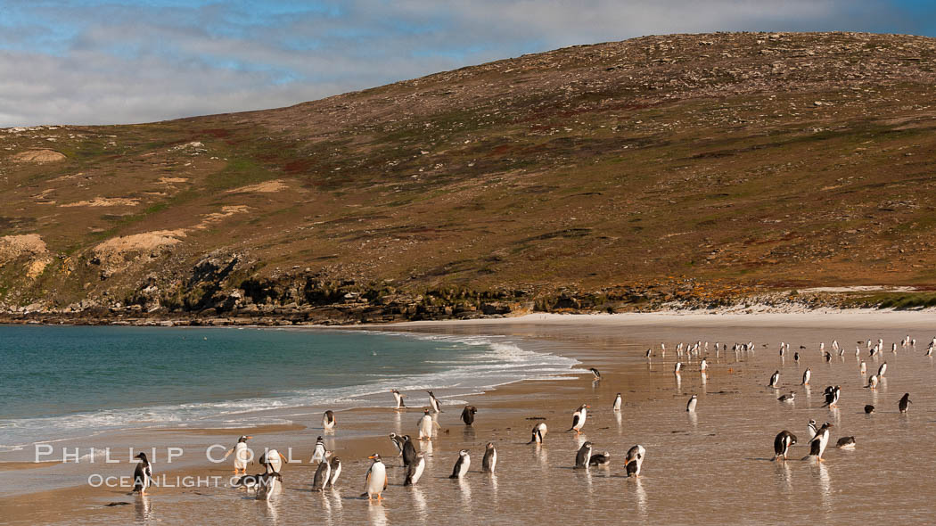 "Gentoo penguins coming ashore, after foraging at sea, walking through ocean water as it wades onto a sand beach.  Adult gentoo penguins grow to be 30"" and 19lb in size.  They feed on fish and crustaceans.  Gentoo penguins reside in colonies well inland from the ocean, often formed of a circular collection of stones gathered by the penguins. New Island, Falkland Islands, United Kingdom, Pygoscelis papua, natural history stock photograph, photo id 23831"