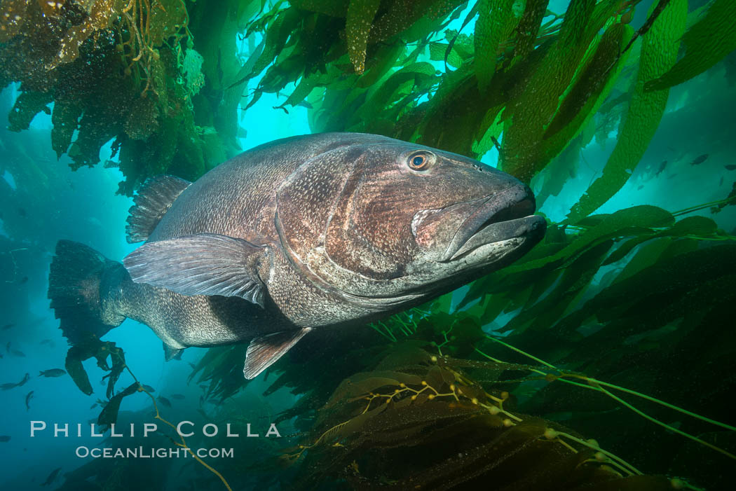 Giant black sea bass, endangered species, reaching up to 8' in length and 500 lbs, amid giant kelp forest. Catalina Island, California, USA, Stereolepis gigas, natural history stock photograph, photo id 33354