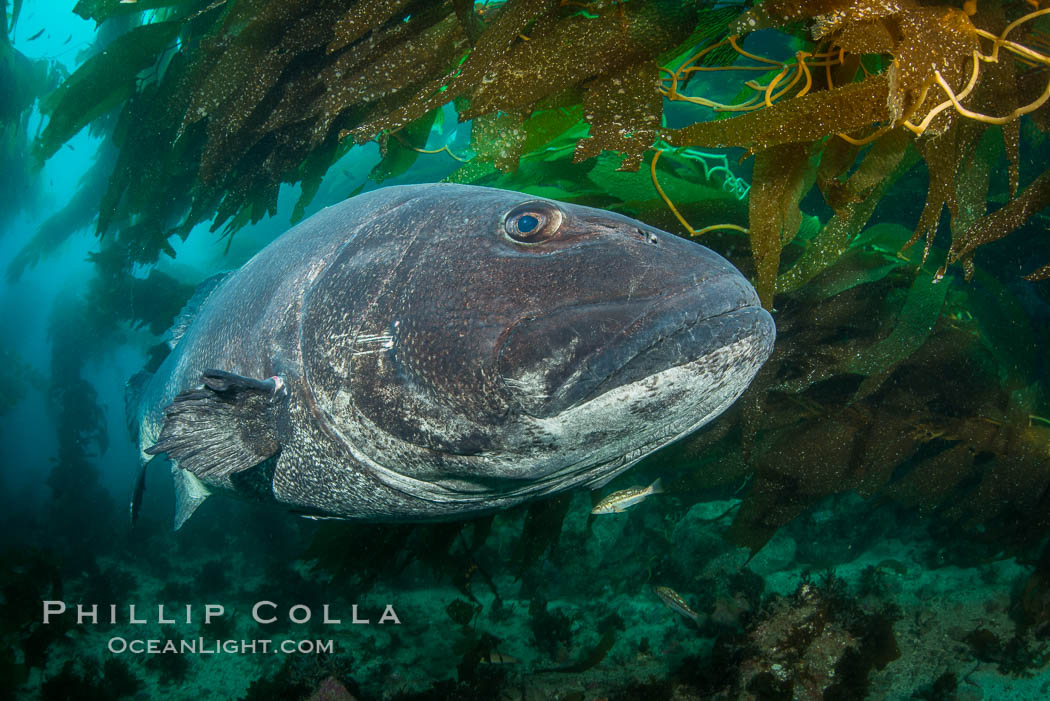Giant black sea bass, endangered species, reaching up to 8' in length and 500 lbs, amid giant kelp forest. Catalina Island, California, USA, Stereolepis gigas, natural history stock photograph, photo id 33358