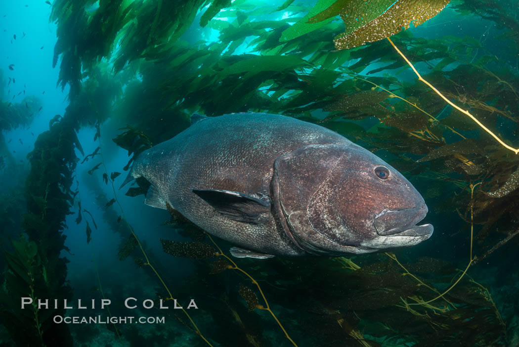 Giant black sea bass, endangered species, reaching up to 8' in length and 500 lbs, amid giant kelp forest. Catalina Island, California, USA, Stereolepis gigas, natural history stock photograph, photo id 33398