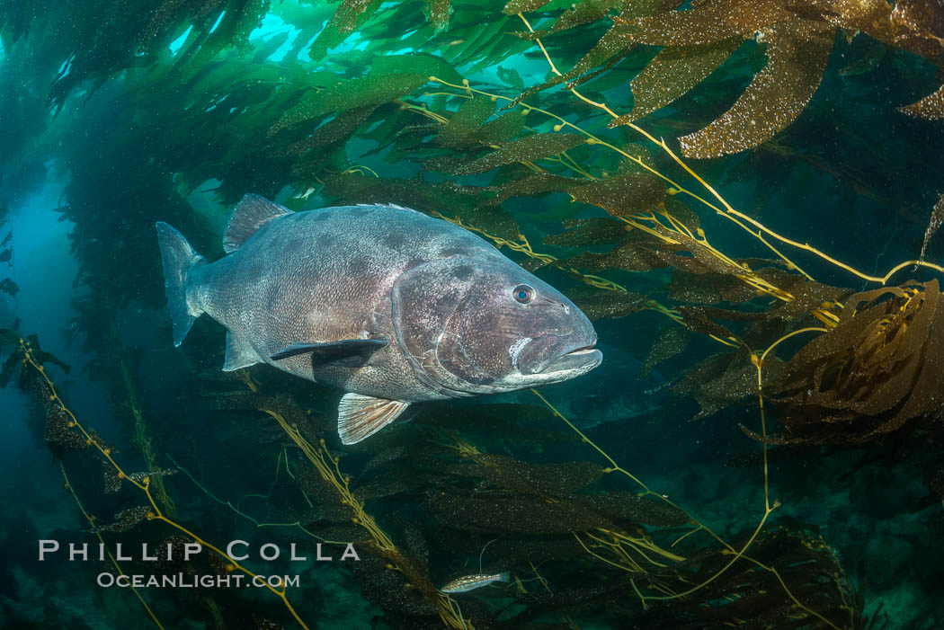 Giant black sea bass, endangered species, reaching up to 8' in length and 500 lbs, amid giant kelp forest. Catalina Island, California, USA, Stereolepis gigas, natural history stock photograph, photo id 33356