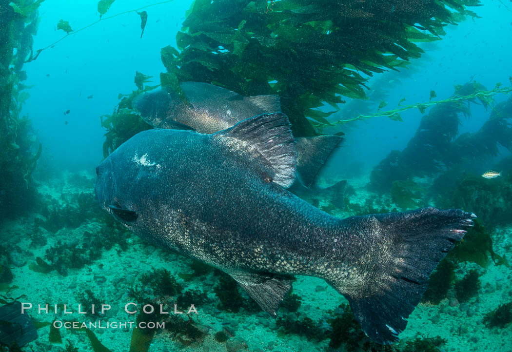 Giant black sea bass, endangered species, reaching up to 8' in length and 500 lbs, amid giant kelp forest. Catalina Island, California, USA, Stereolepis gigas, natural history stock photograph, photo id 33372