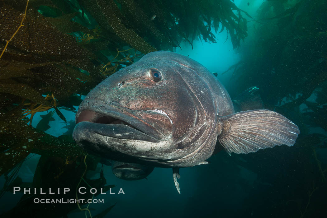 Giant black sea bass, endangered species, reaching up to 8' in length and 500 lbs, amid giant kelp forest. Catalina Island, California, USA, Stereolepis gigas, natural history stock photograph, photo id 33363