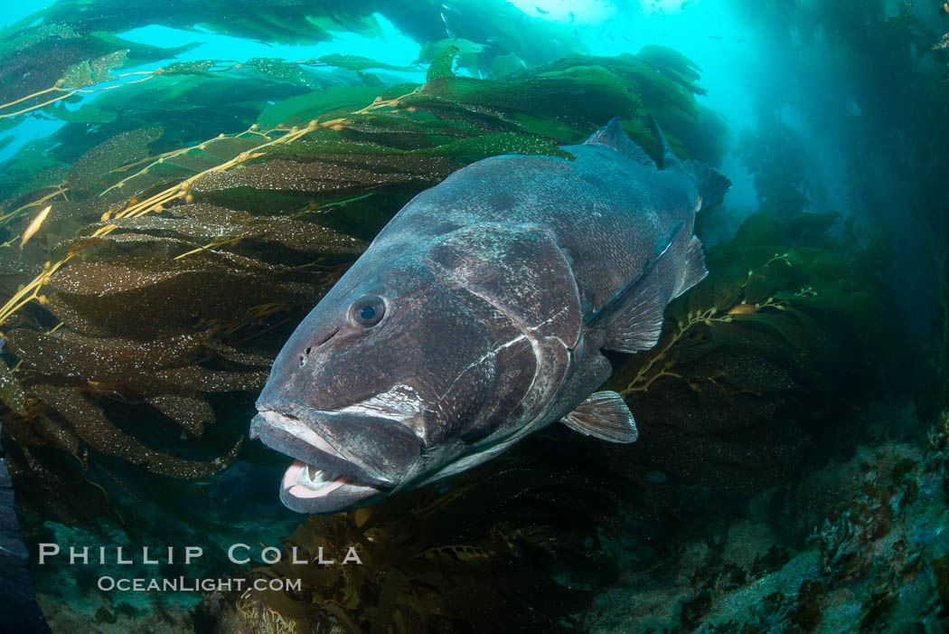 Giant black sea bass, endangered species, reaching up to 8' in length and 500 lbs, amid giant kelp forest. Catalina Island, California, USA, Stereolepis gigas, natural history stock photograph, photo id 33369