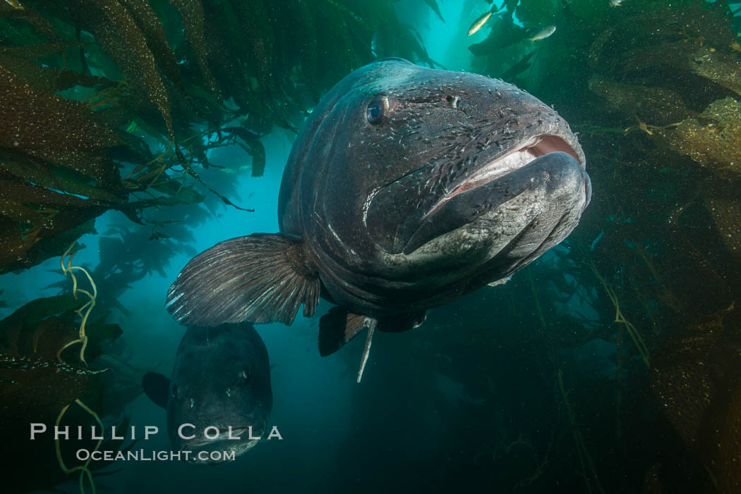 Giant black sea bass, endangered species, reaching up to 8' in length and 500 lbs, amid giant kelp forest. Catalina Island, California, USA, Stereolepis gigas, natural history stock photograph, photo id 33385