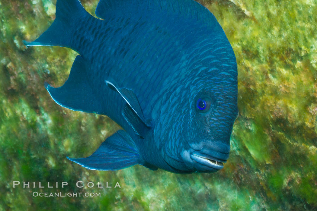 Giant damselfish, Sea of Cortez, Baja California, Mexico. Sea of Cortez, Baja California, Mexico, Microspathodon dorsalis, natural history stock photograph, photo id 27496