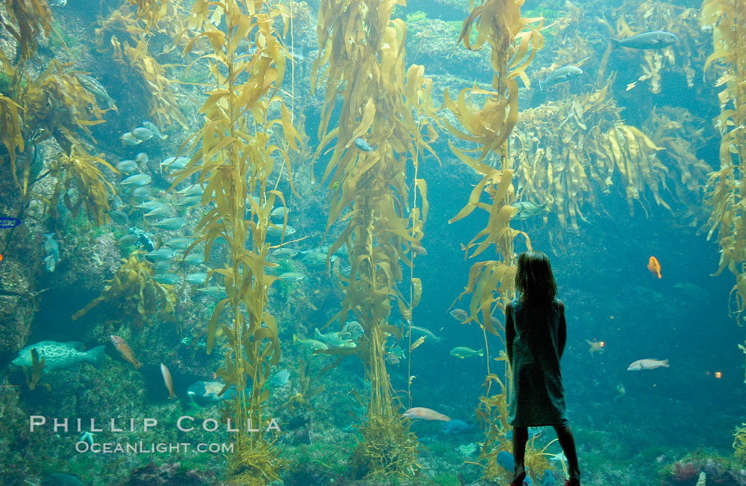 A child admires the fascinating kelp forest tank at the Birch Aquarium at Scripps Institution of Oceanography, San Diego, California., Macrocystis pyrifera, natural history stock photograph, photo id 10307