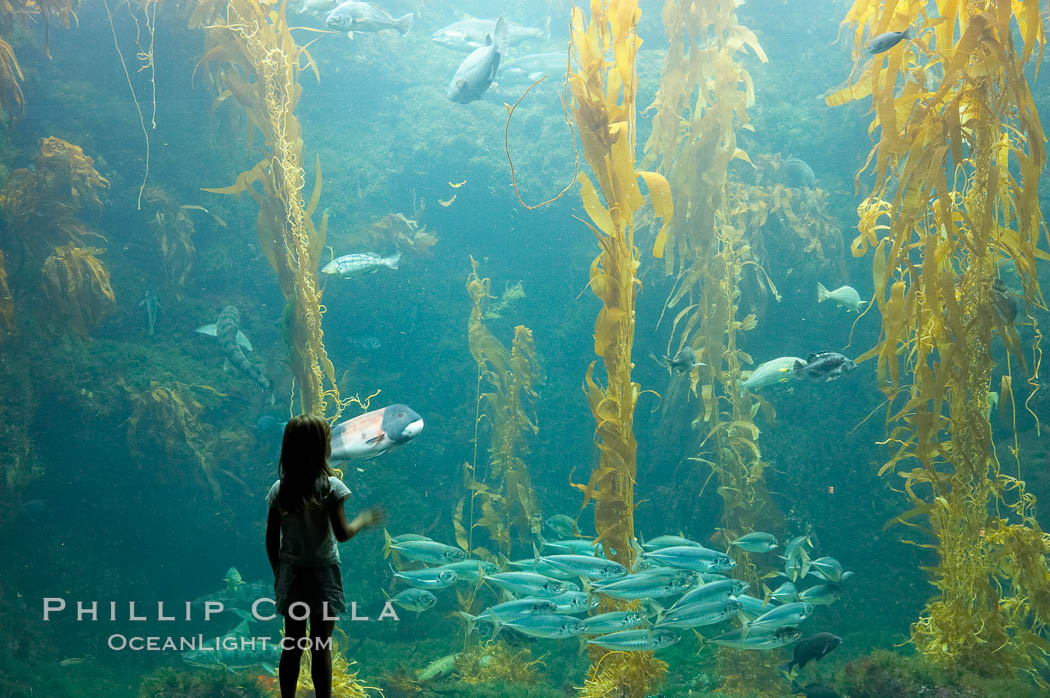 A child admires the fascinating kelp forest tank at the Birch Aquarium at Scripps Institution of Oceanography, San Diego, California., Macrocystis pyrifera, natural history stock photograph, photo id 14517