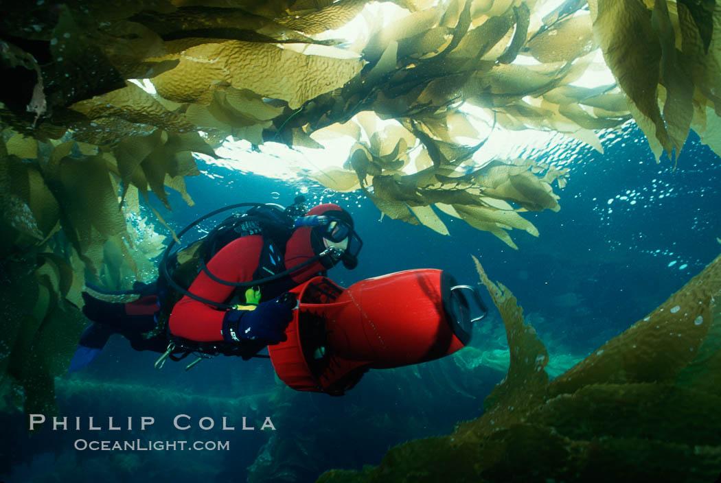 Diver in kelp. San Clemente Island, California, USA, Macrocystis pyrifera, natural history stock photograph, photo id 00274