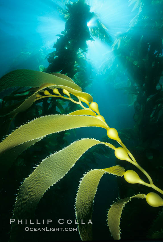 Kelp frond showing pneumatocysts. San Clemente Island, California, USA, Macrocystis pyrifera, natural history stock photograph, photo id 00617